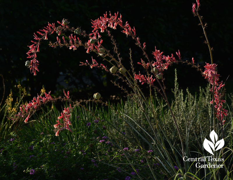 red yucca hesperaloe parvifolia for hummingbirds and drought