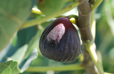 POW - Texas Everbearing Fig