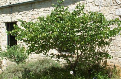 Texas Redbud Central Texas Gardener