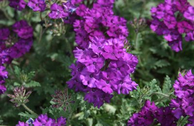 Verbena central texas gardener verbena superbena purple has really dark green fuzzy foliage against vivid purple flowers it loves full sun and is extremely drought and heat tolerant mightylinksfo