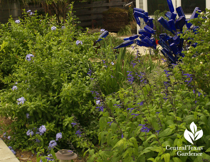 blue bottles, plumbago, salvia Hutto Central Texas Gardener