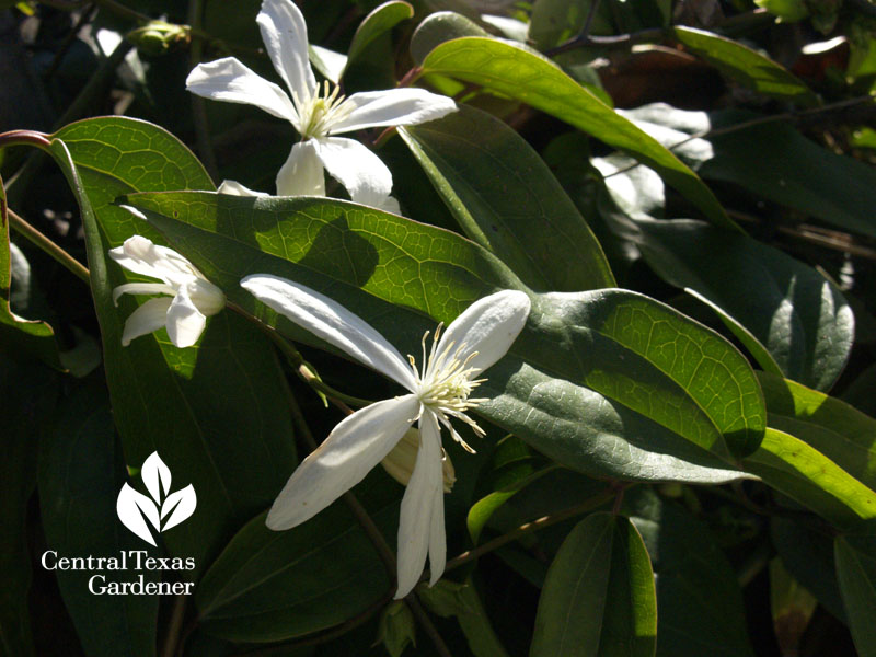 clematis armandii vine for shade Central Texas Gardener