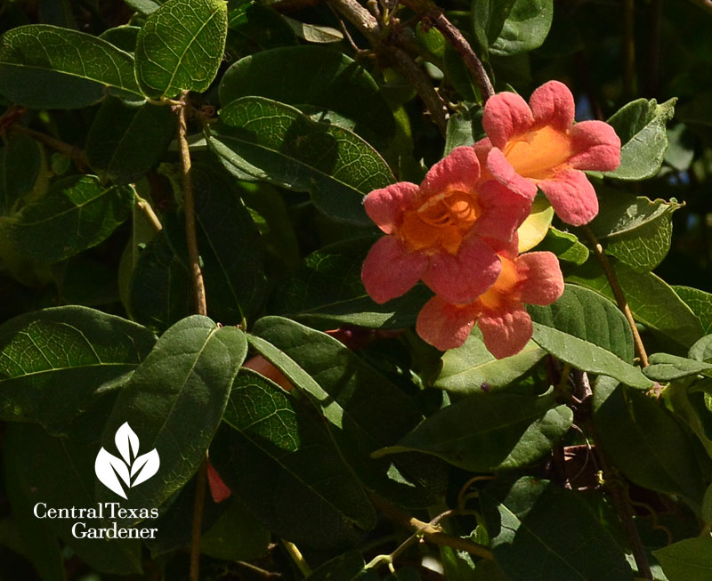 Tangerine Beauty crossvine flower Central Texas Gardener