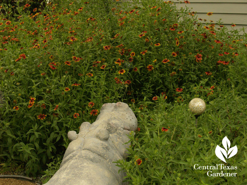 Hutto concrete hippo with Indian blanket wildflowers central texas gardener
