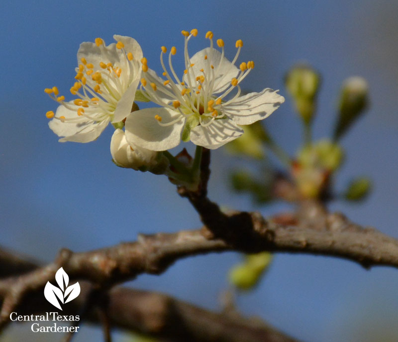 mexican plum flowers central texas gardener