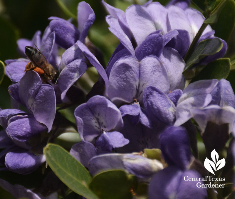 bee on mountain laurel flower central texas gardener