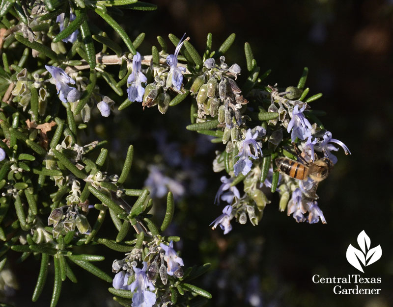 bee on  rosemary central texas gardener
