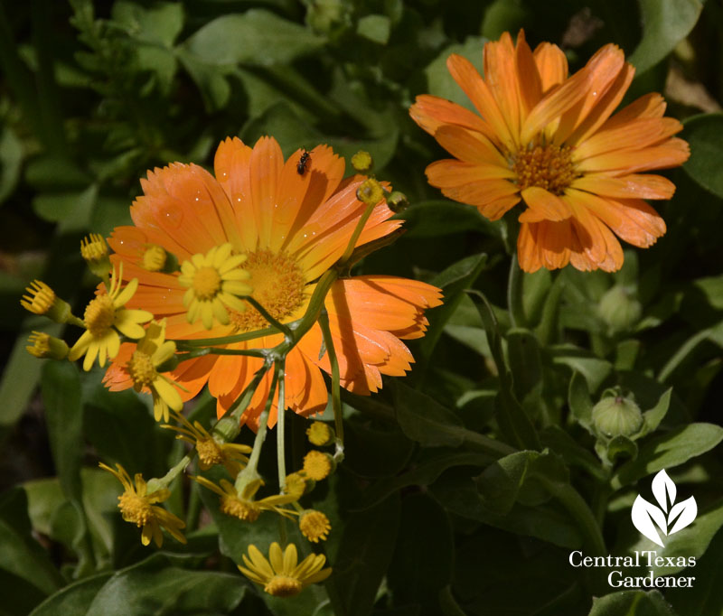 calendula and golden groundsel with beneficial insect