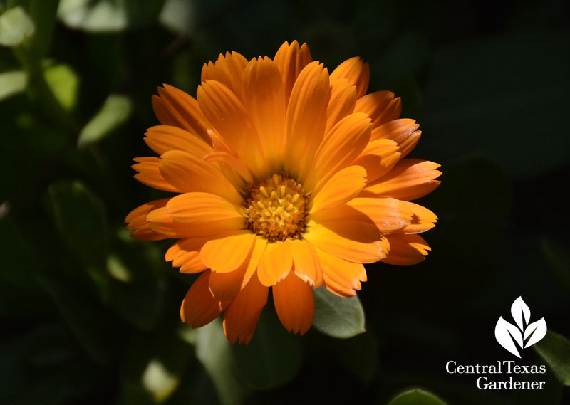 calendula winter annual beauty