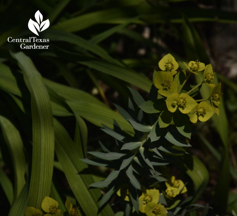 euphorbia rigida gopher yellow bract