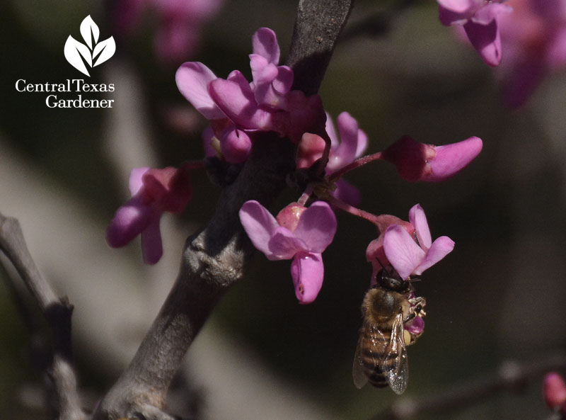 bee on Mexican redbud Central Texas Gardener