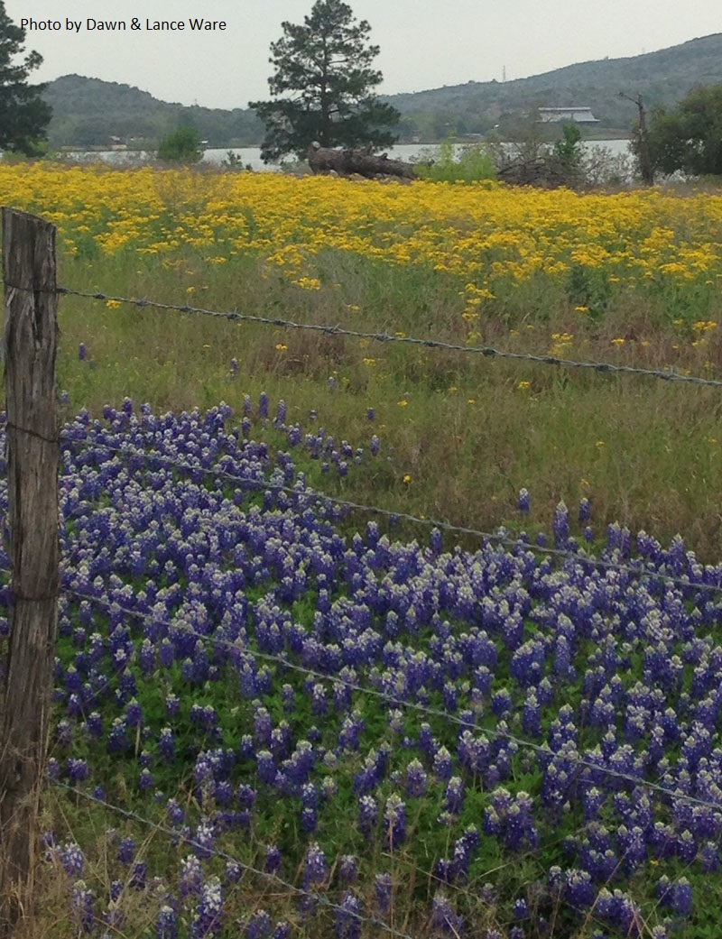 Texas bluebonnet fields Cemtral Texas Gardener