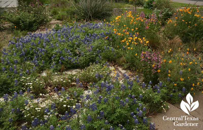front yard wildflower garden Central Texas Gardener