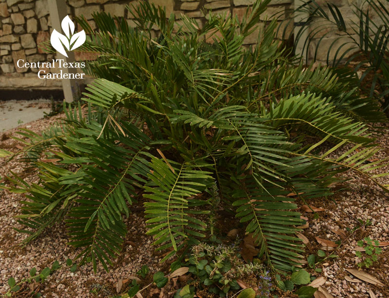 coontie for shade Central Texas Gardener