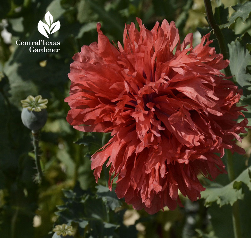 frilly poppy central texas gardener