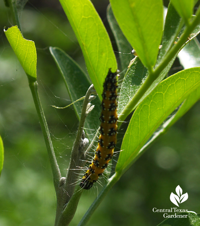 Genista caterpillar on mountain laurel Central Texas Gardener