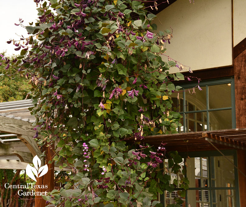 hyacinth bean vine at Lake Austin Spa Resort