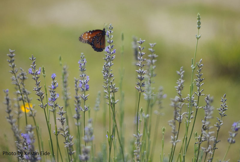 Queen butterfly on Provence lavender