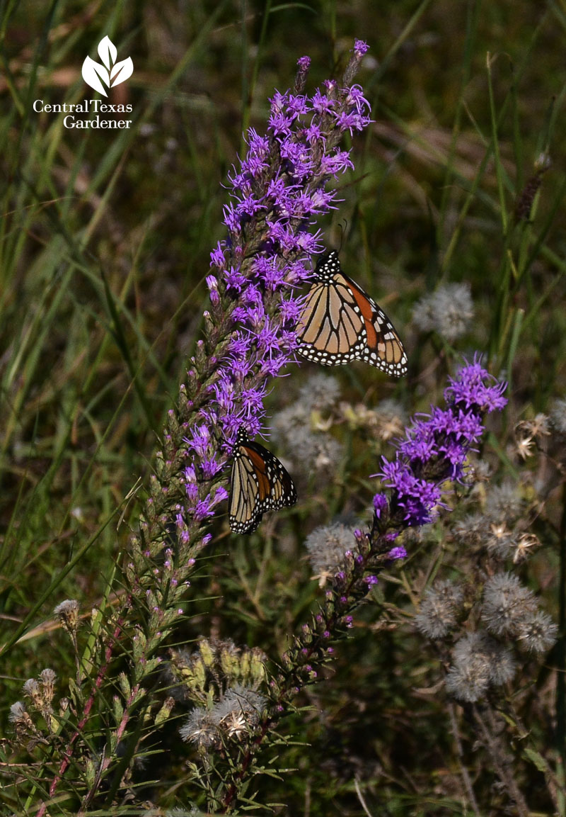 Monarch butterfly on native liatris central texas prairie
