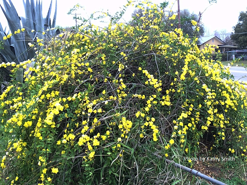 primrose jasmine with dead undergrowth Central Texas Gardener