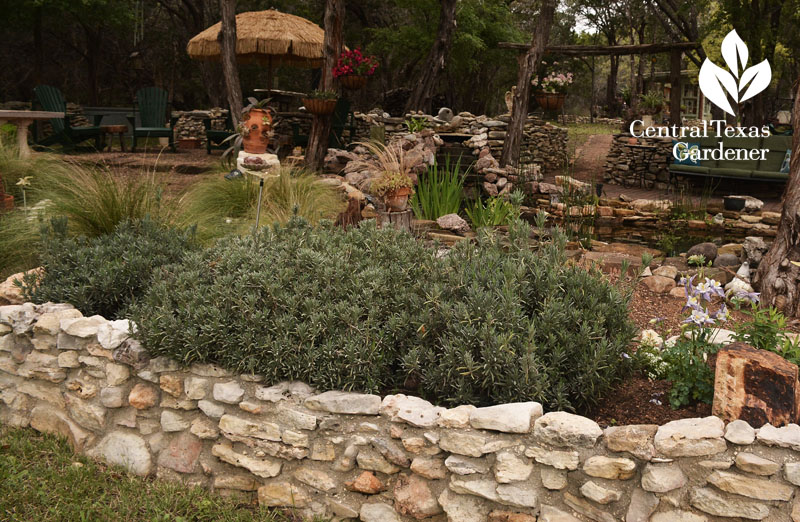 provence lavender in raised bed Central Texas Gardener