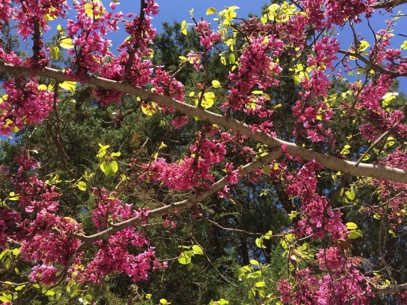 Mj S Redbud Tree Central Texas Gardener