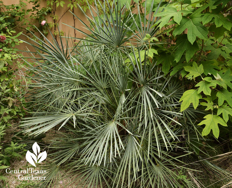silver mediterranean fan Central Texas Gardener