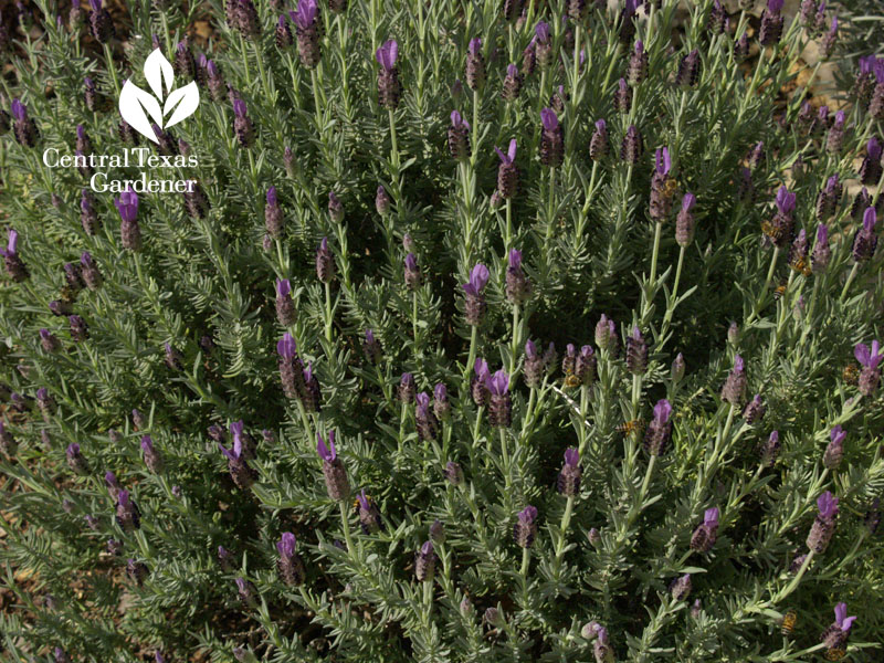 Spanish lavender Central Texas Gardener