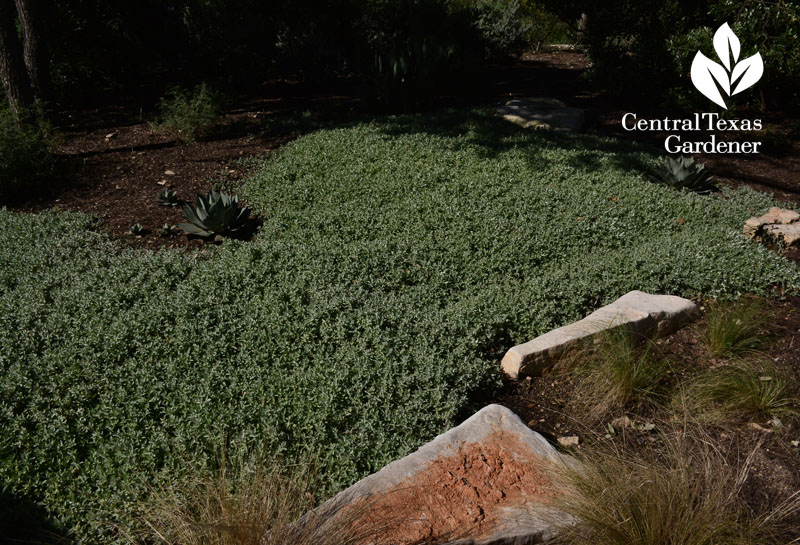 Woolly stemodia drought groundcover replace grass