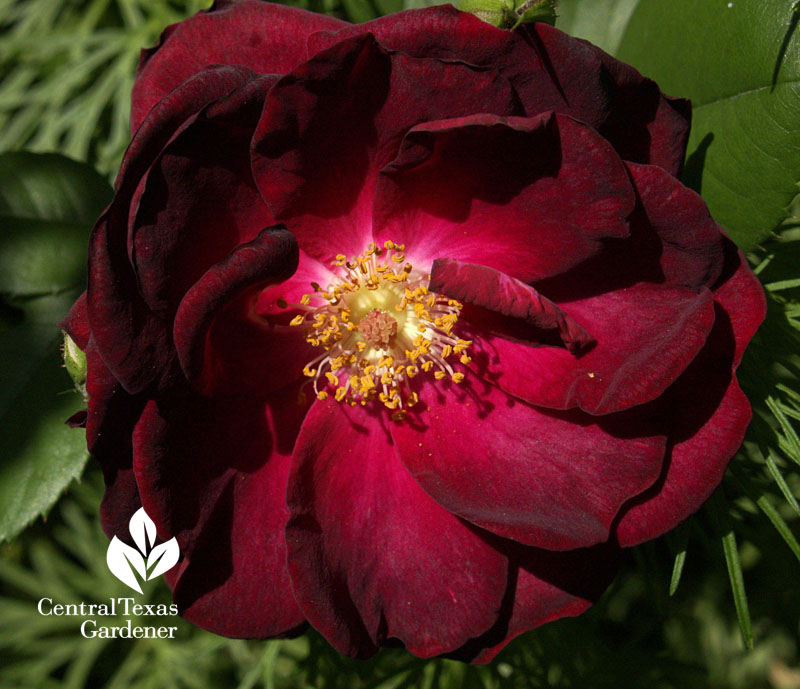 Dr. Huey rose rootstock why  grafted roses change color