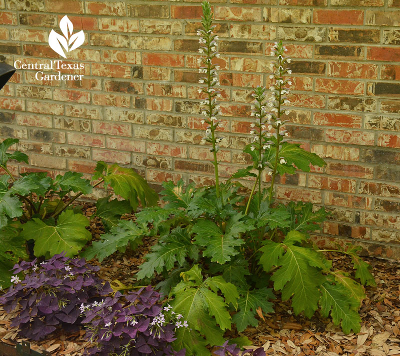 bear's breeches and purple oxalis for shade Central Texas Gardener