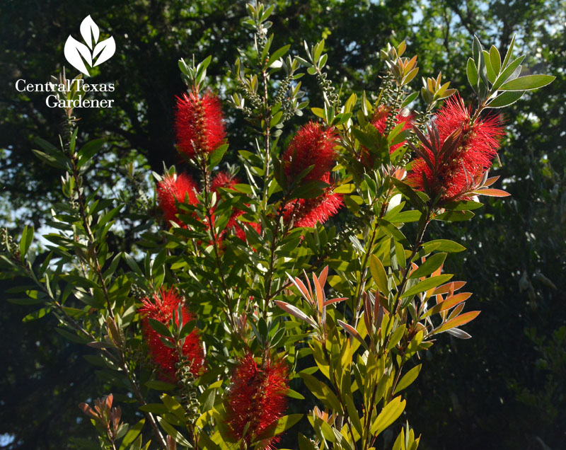 bottlebrush shrub for bees Central Texas Gardener