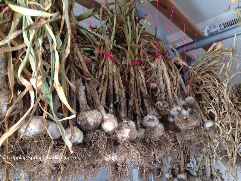 hanging garlic to dry Dripping Springs Garlic