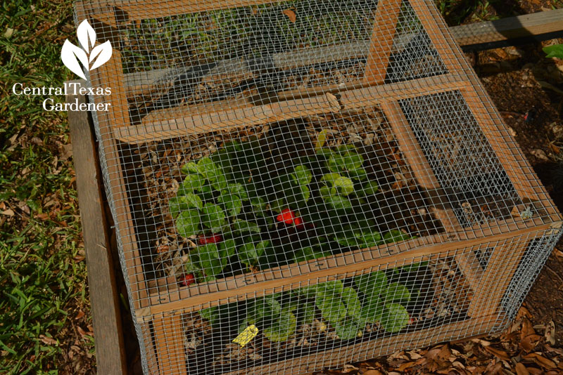 screen cage to protect strawberries Central Texas Gardener