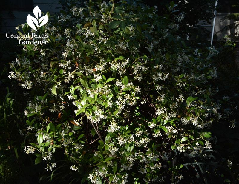 Healing plants safe edibles for us wildlife central texas gardener star jasmine shaped as shrub central texas gardener mightylinksfo