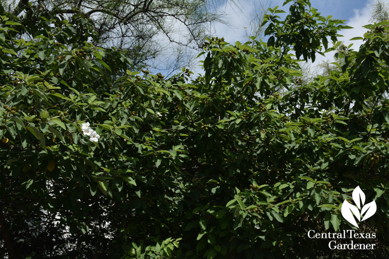 Cordia boissieri Texas wild olive flowers and fruit Central Texas Gardener