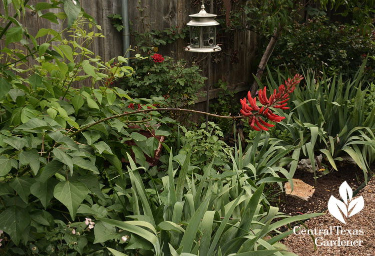 Native coralbean for hummingbirds Central Texas Gardener