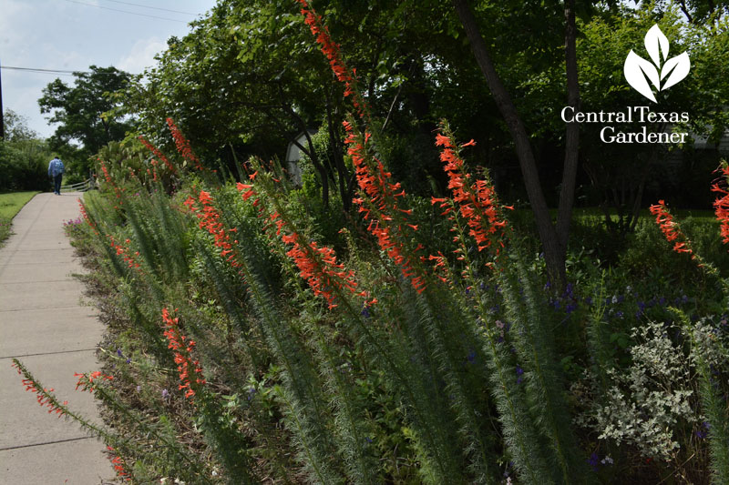standing cypress native plant for hummingbirds Central Texas Gardener