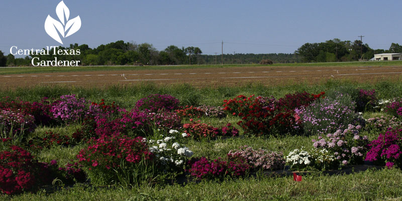 Texas A&M Research Texas Superstar plants Central Texas Gardener