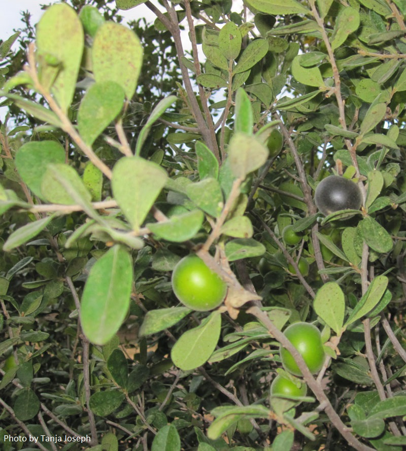Texas persimmon fruits ripe and unripe Central Texas Gardener