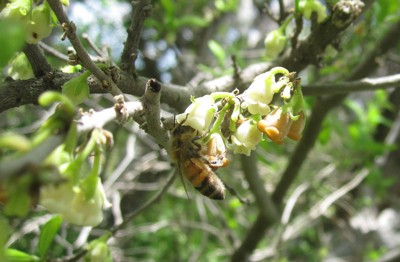 bee on Texas persimmon flower web