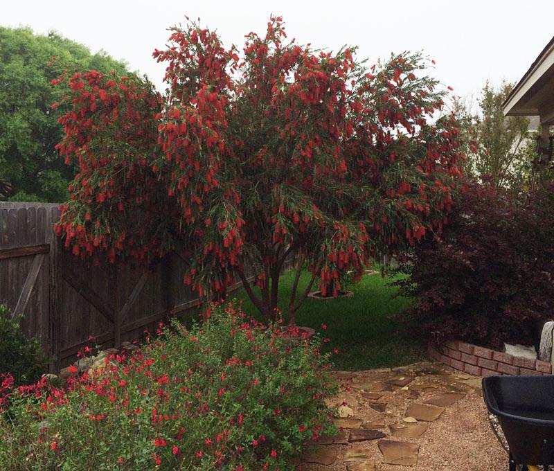 Bottlebrush Tree In Cibolo By Rich Hart Central Texas Gardener