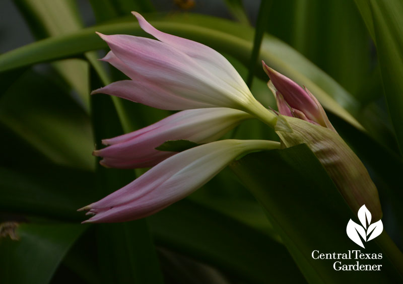 pink crinum lily in bud central texas gardener