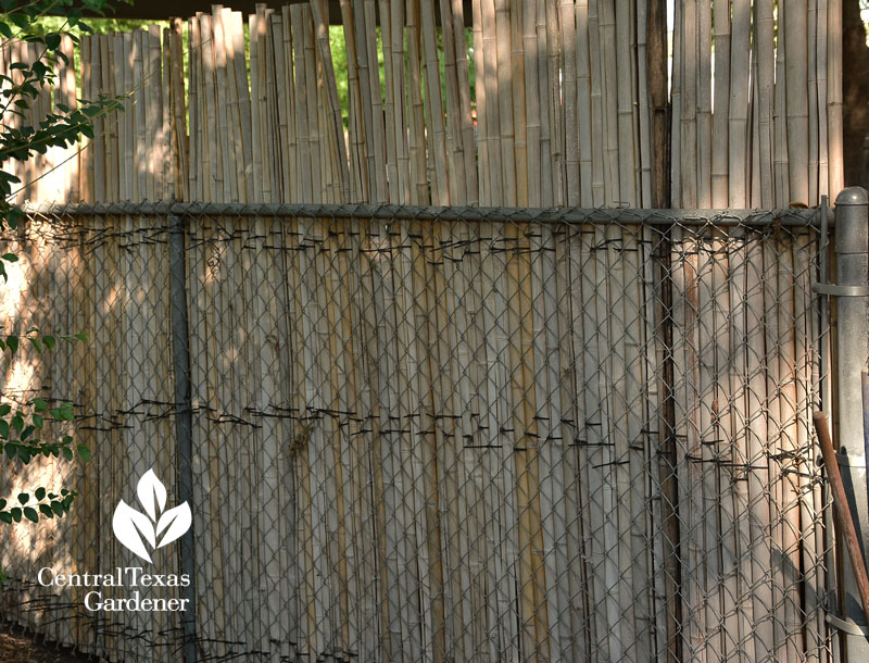 bamboo covering chain link fence Central Texas Gardener