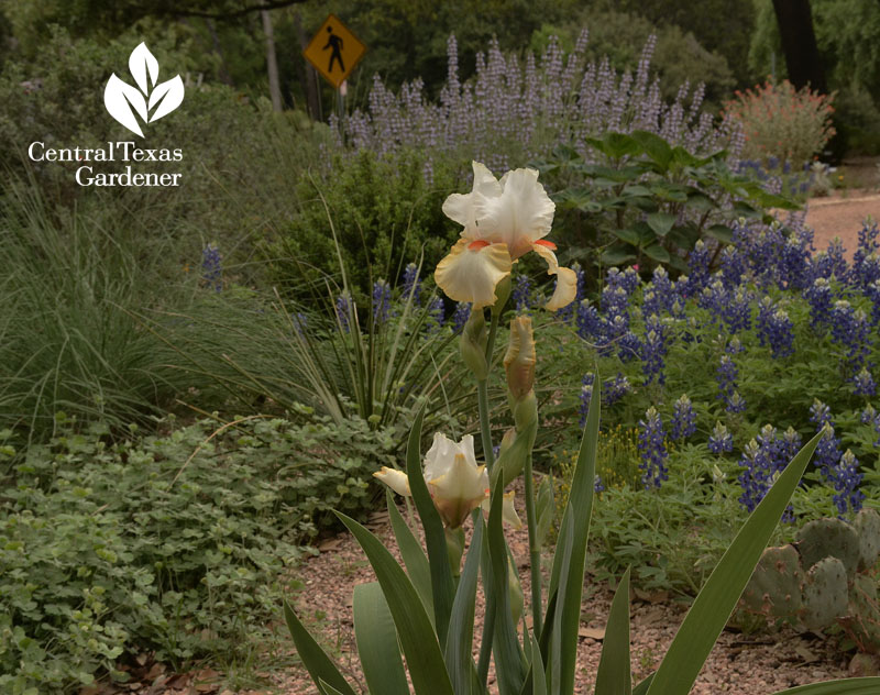 Iris and bluebonnets Rollingwood City Hall Central Texas Gardener