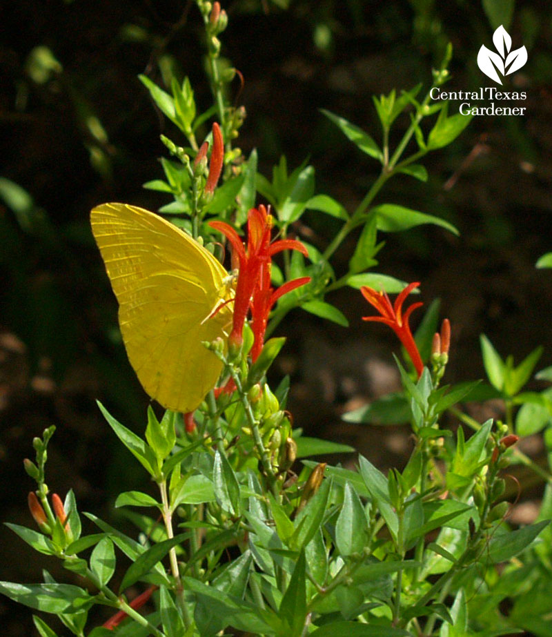 Sulphur butterfly on flame acanthus Central Texas Gardener