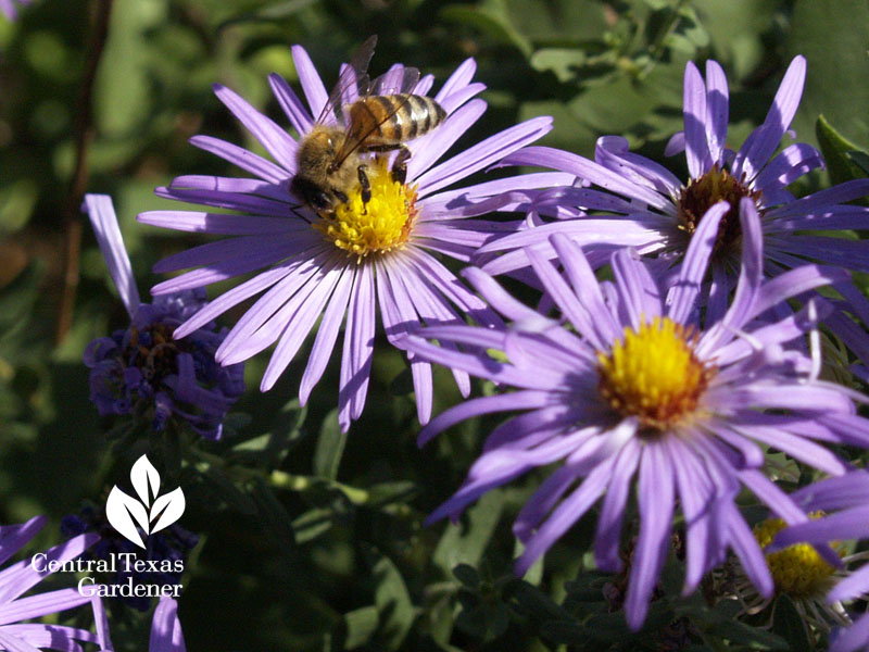 bee on fall aster Central Texas Gardener