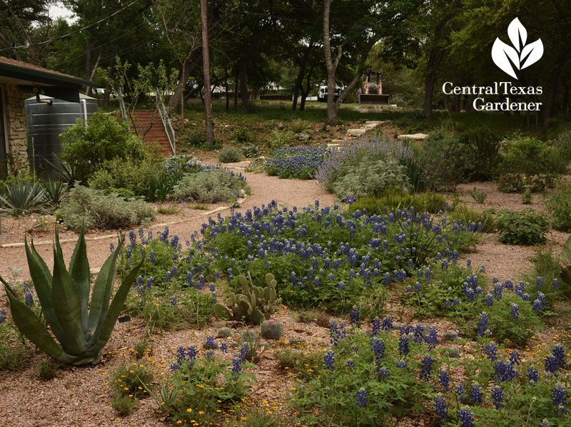 bluebonnets path Rollingwood City Hall Central Texas Gardener