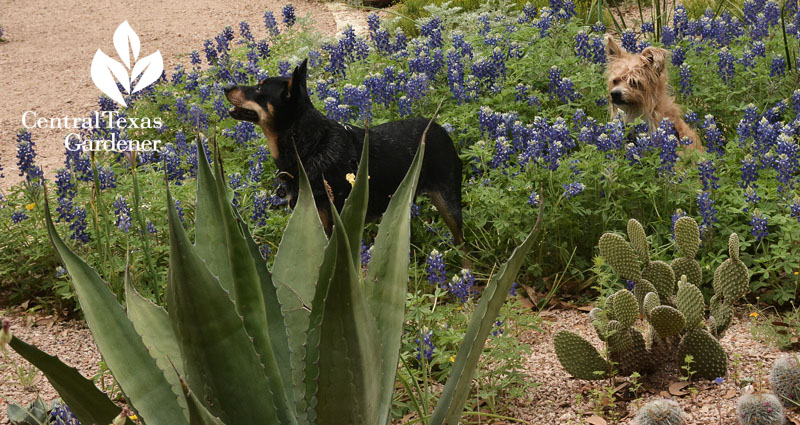 dogs in  bluebonnets Rollingwood City Hall Central Texas Gardener