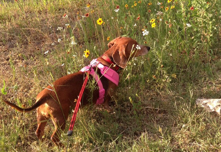 doxie checking out wildflowers